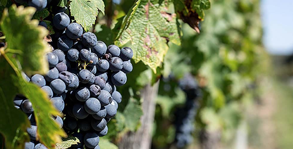 Grape de Raisins du Château Potiron