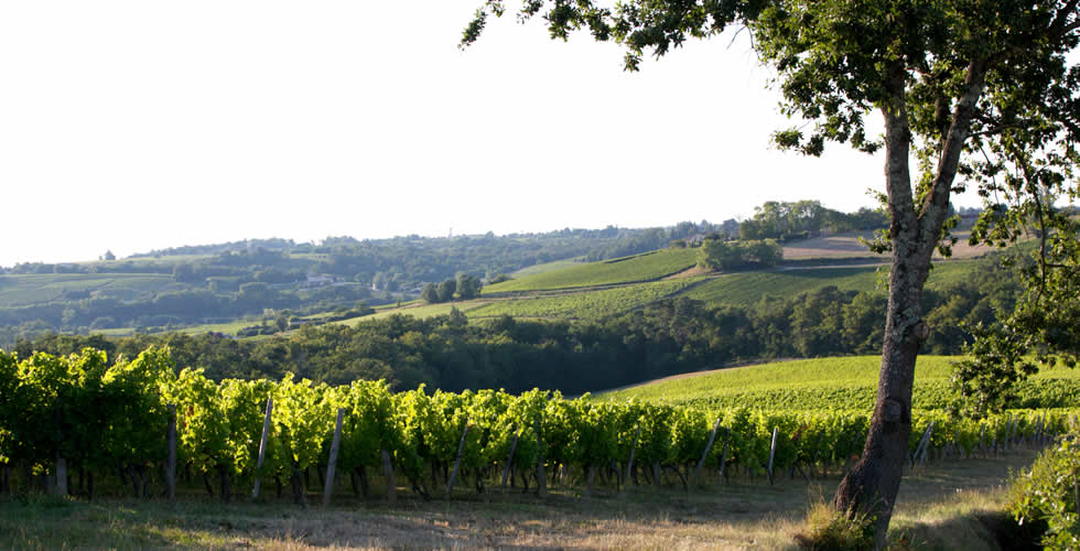 The vineyard of Cadillac Côtes de Bordeaux - Gironde